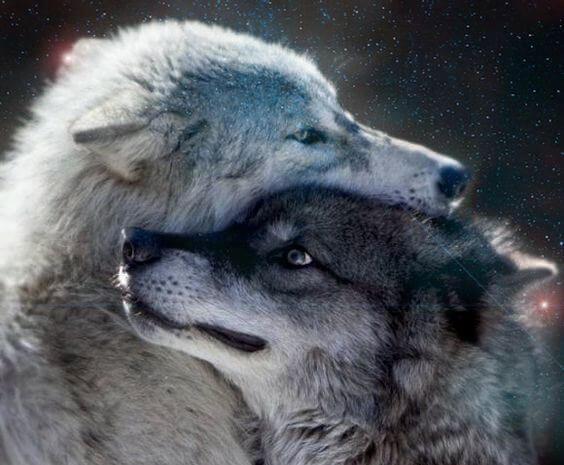 회색 늑대