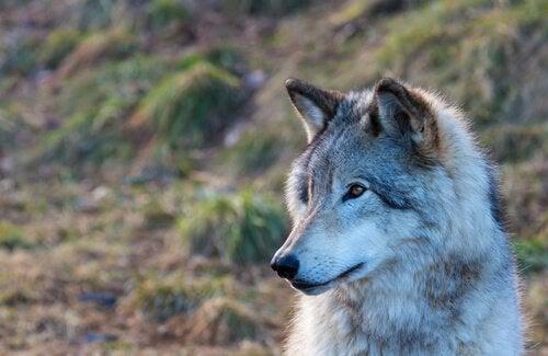 늑대와 함께