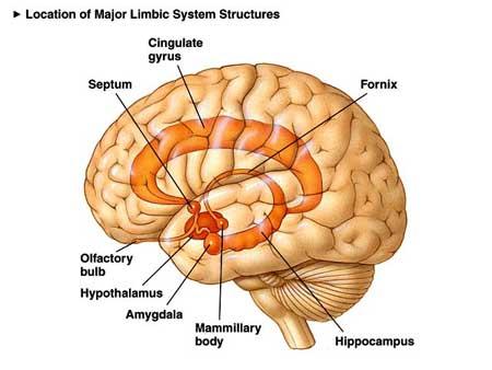 대뇌구조; 대뇌 변연계: 무엇이고 어떻게 작동하는가?