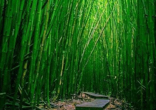 도를 보여주는 대나무 숲