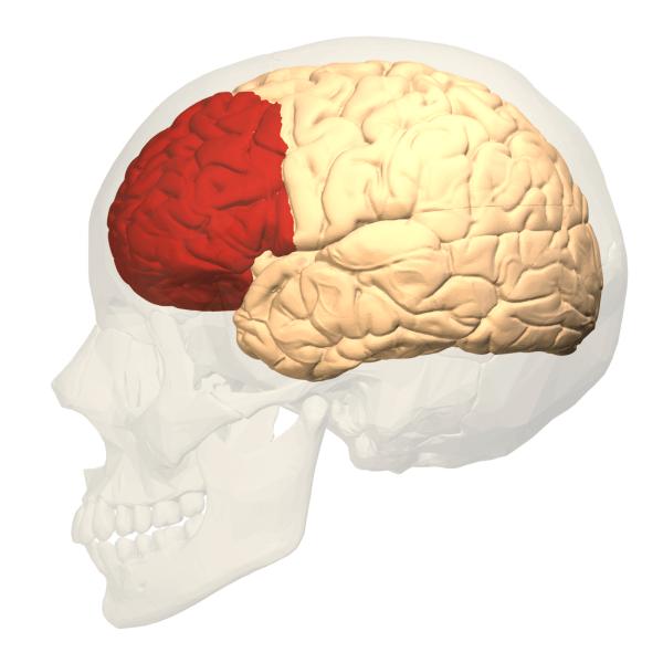 전두엽 피질은 뇌의 가장 흥미로운 부분 중 하나 01