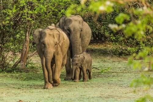 야생 코끼리들을 길들이는데