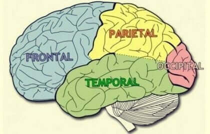 대뇌엽: 특유한 성질과 기능에 대해 알아보자