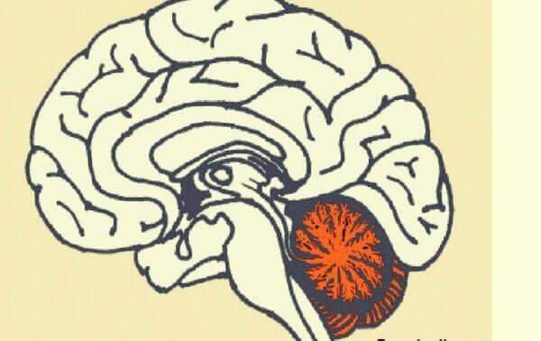 소뇌 유동성 지능